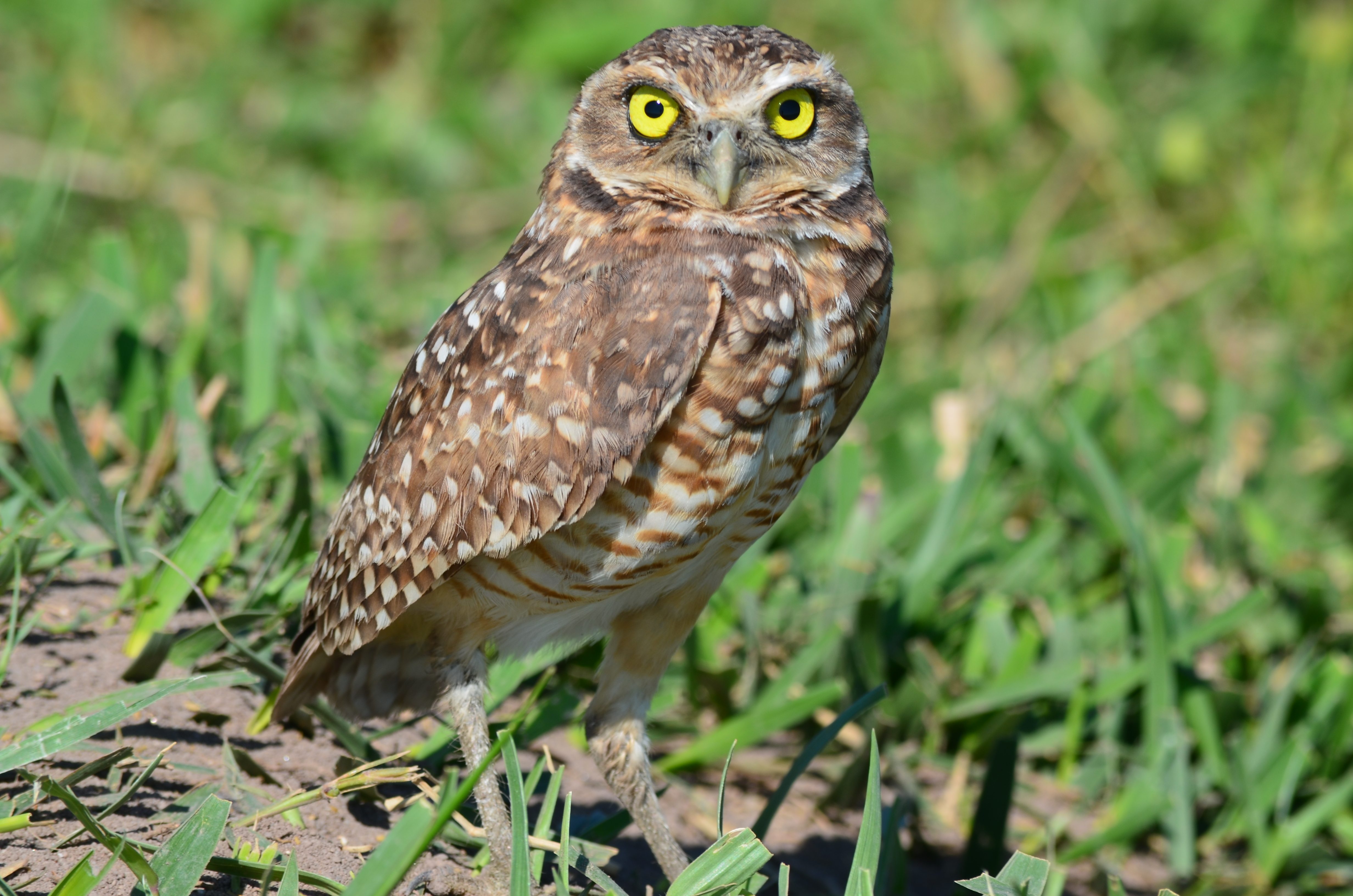 Los Llanos Owl