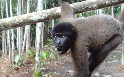 Amazone, Monkey